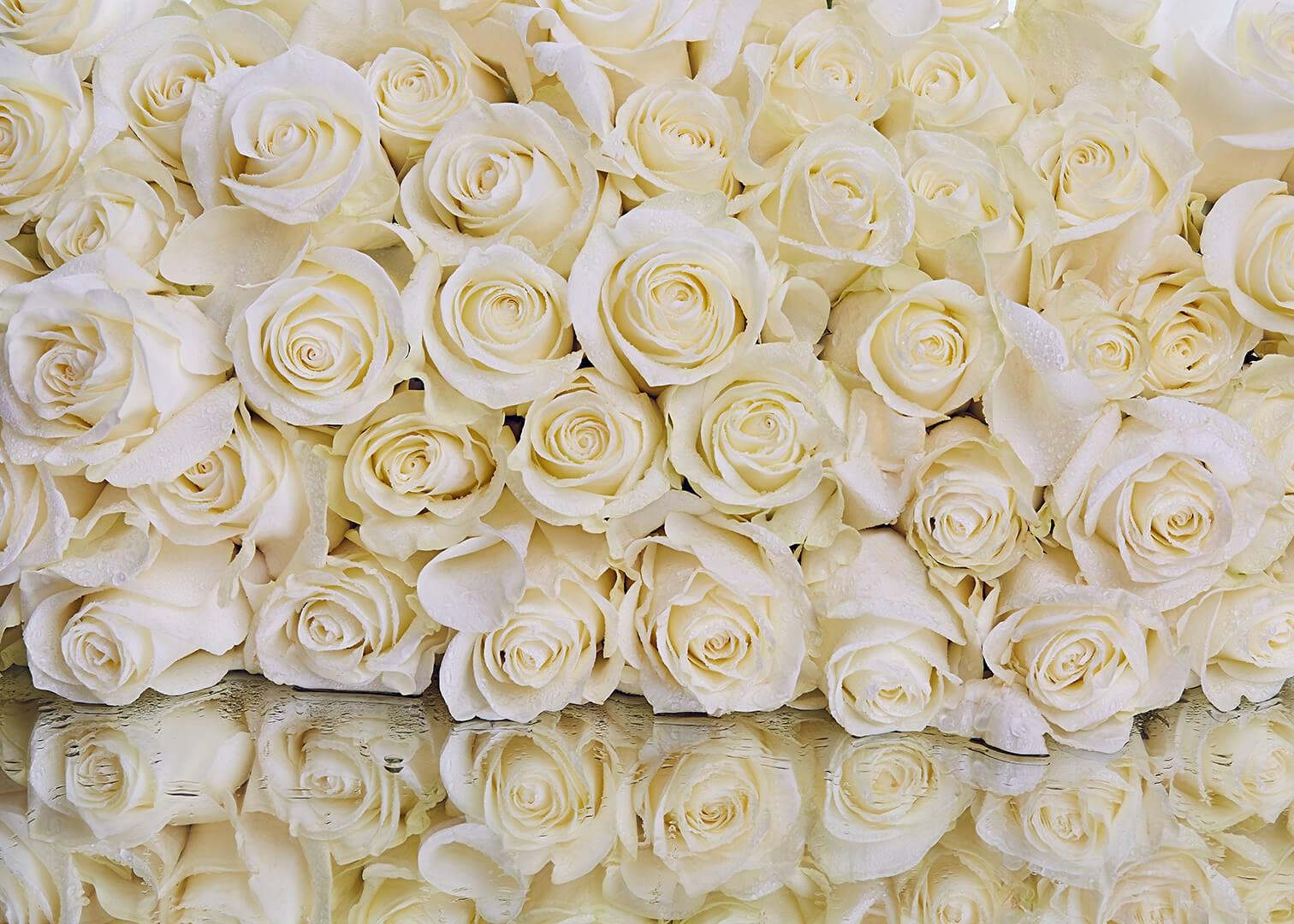 белые розы фотопечать